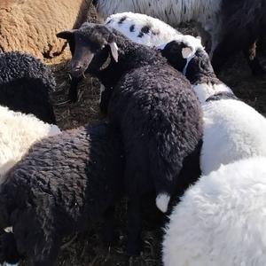 Продам баранину (баранов,  ягнят) мясной породы,  коз зааненских
